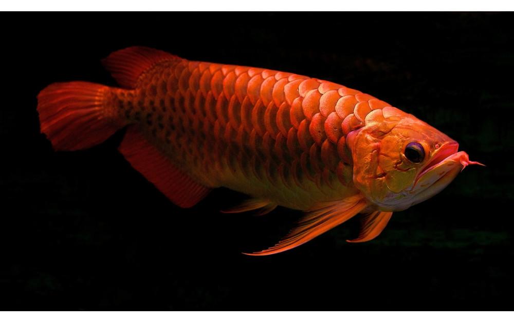 Арована - одна из самых необычных аквариумных рыб.