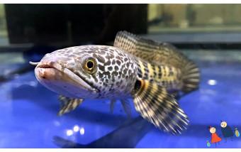 Азиатская рыба Змееголов