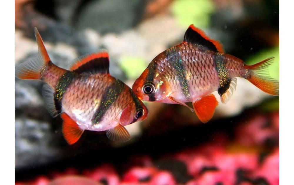 Самые популярные аквариумные рыбы