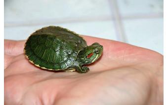 Условия для содержания красноухих черепах в домашних условиях