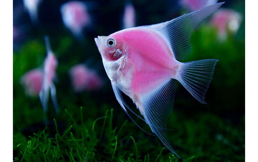 Самые интересные аквариумные рыбки