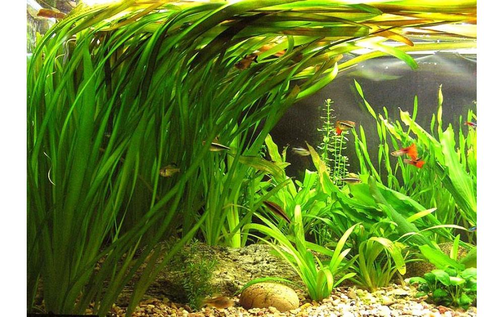 Подводные растения для аквариумов