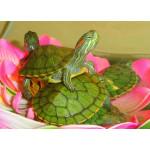 Как подобрать террариум для красноухой черепахи?