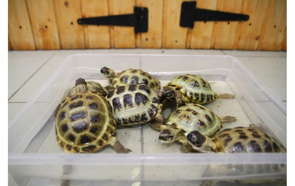 Разведение красноухих черепах в домашних условиях