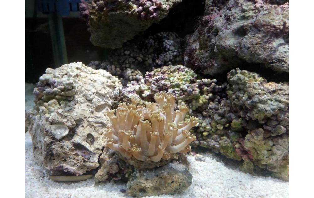 Виды кораллов, используемых для домашних аквариумов