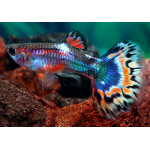 Какие рыбки подходят для совместного содержания с Гуппи, а какие нет?
