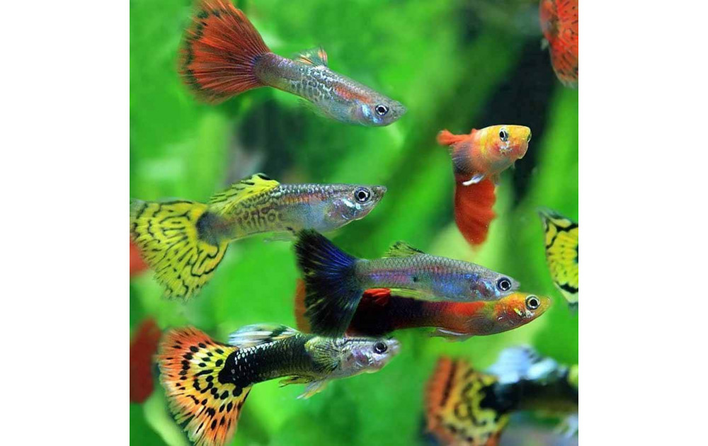 Гуппи - самые распространенные аквариумные рыбки
