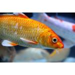 Почему рыбы теряют чешую?