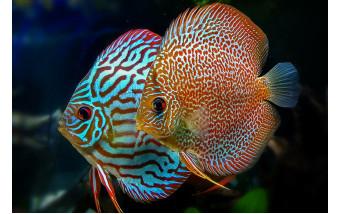 Дискусы – короли аквариума