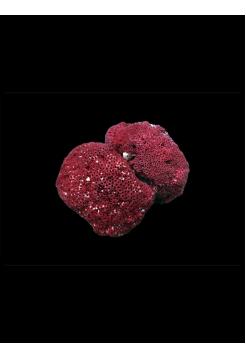 """Коралл """"Красный органчик"""" от 750 руб."""