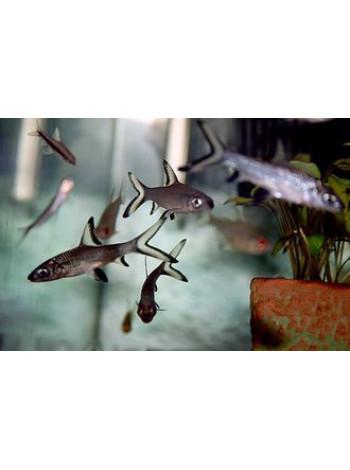 Акулий балу 5-6см