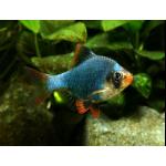 Рыбы Барбусы