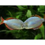 Рыбы Радужницы