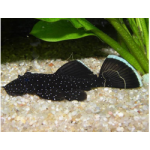 Рыбы Сомы