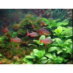 Рыбы Харациновые