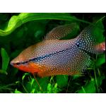Рыбы Лабиринтовые