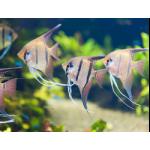 Рыбы Скалярия