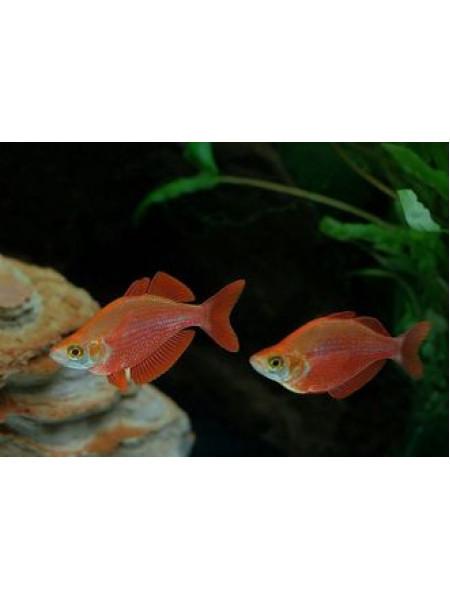 Глоссолепис красный 4-6см