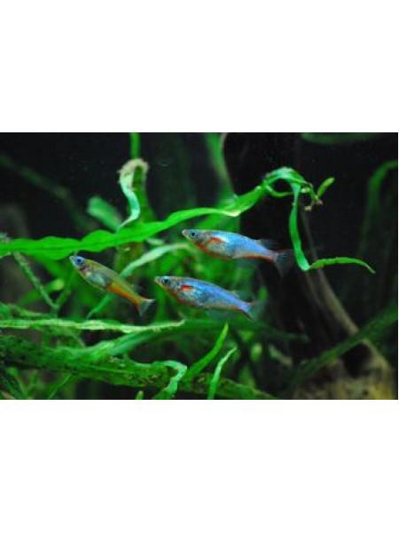 Рисовая рыбка вовора 2-2,5см