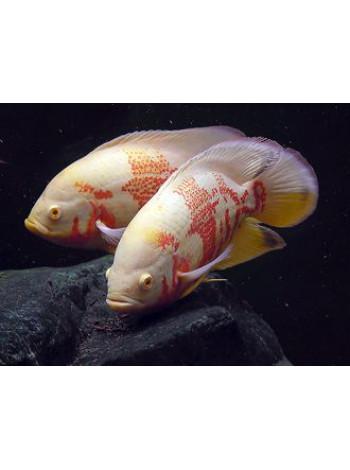 Астронотус альбинос 5-7см